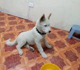 hermoso cachorro Kusky
