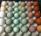 Pollitos araucanos de huevo verde