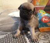 Pug Carlino Mini