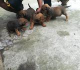 Vendo Cachorritos