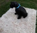 Cachorro Snauzer Mini