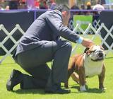 Bulldog Campeón Ecuador para Montas