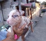 American Pitbull Red Nose Sangre Pura
