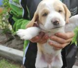 Hermosos Cachorros Beagles Tricolor