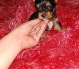 Vendo Yorkie Terrier Miniatura
