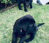 Cachorros Labradores Pedigri Y Vacunas