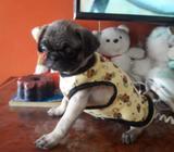 Cachorro Pug Carlino 2 Meses