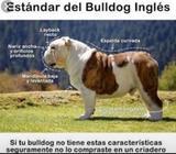 Montas Bulldog Ingles