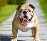 Montas Bulldog Ingles Bonito