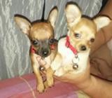 Vendo Chihuahua, Info Al 0999690687