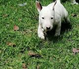 Cachorros Bull Terrier Standar 100 Puros