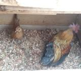 Vendo Pareja de Pollos Chilenos
