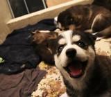 Husky Siberianos Importados Pedigree