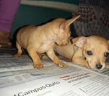 de Oportunidad Vendo Perrito Chihuahua
