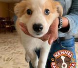 Border Collie cachorro
